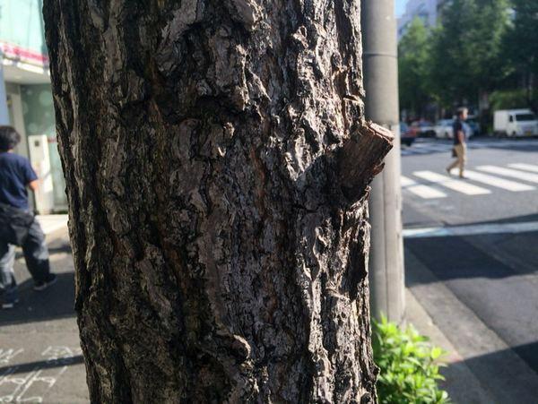 東京都千代田区の白山通りのいちょうの木