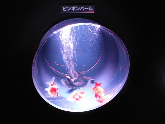 アートアクアリウムのピンポンパールという金魚