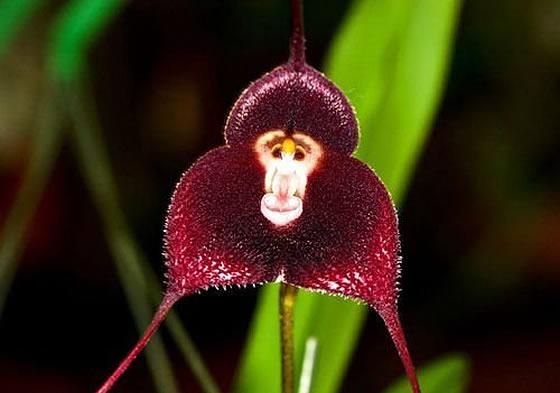 サル顔の花のモンキー・オーキッドの画像