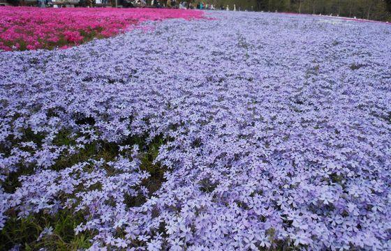 秩父の羊山公園の芝桜の画像