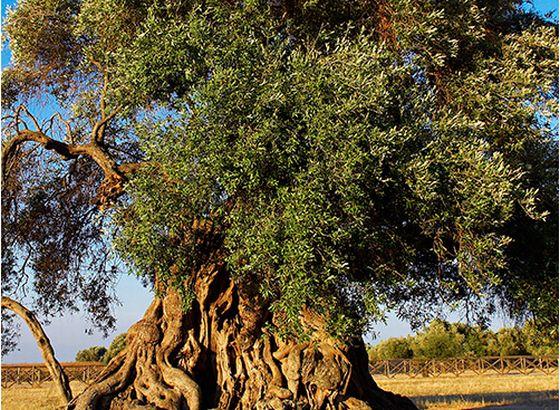 1000万のオリーブの木