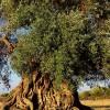 ZOZOタウンで樹齢1000年のオリーブの木が1000万円で販売中