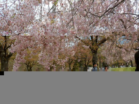 秩父の羊山公園の桜の画像